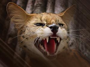 порода кошек сервал