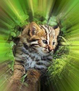 Котенок дальневосточного лесного кота