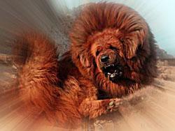 Tibetskij_dog_tibetskij_mastif