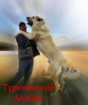 Туркменский алабай