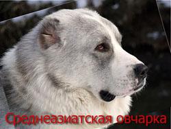 sredneaziatskaia_ovcharka