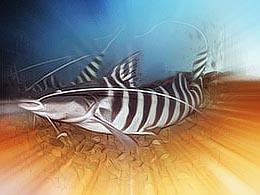 редкая аквариумная рыба