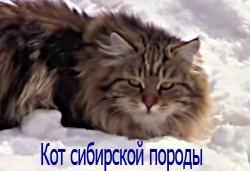 кот сибирской породы
