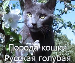 Порода кошки Русская голубая