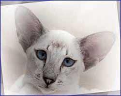 Описание породы Сиамской кошки