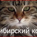Сибирский кот характеристика породы