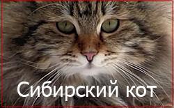 Характеристика сибирского кота