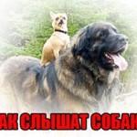 Как слышат собаки