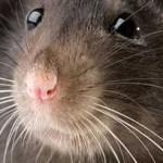 Домыслы людей о крысах
