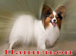Порода собак папильон