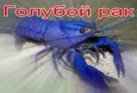 голубой рак