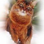 Сомали кошка редкая.