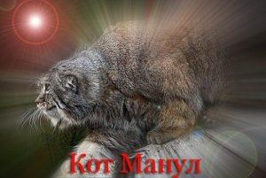 кот Манул не поддается приручению