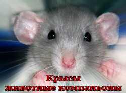 крысы животные-компаньоны