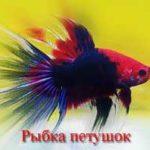 Рыбка петушок (бойцовая рыбка, сиамский петушок, Betta splendens)