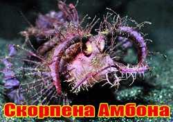 Скорпена Амбона (англ. Ambon Scorpionfish, лат. Pteroidichthys amboinensis).