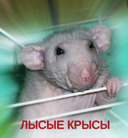 лысые крысы