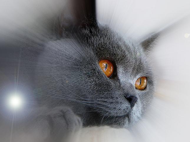 Британская короткошёрстная кошка.