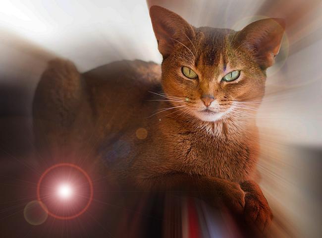 5 место. Абиссинская кошка.