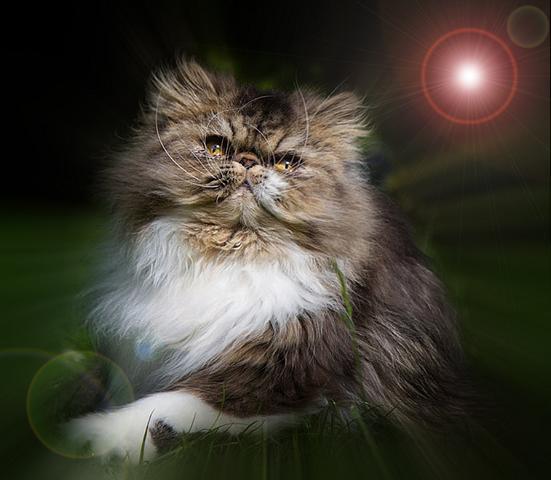 6 место. Персидская кошка.