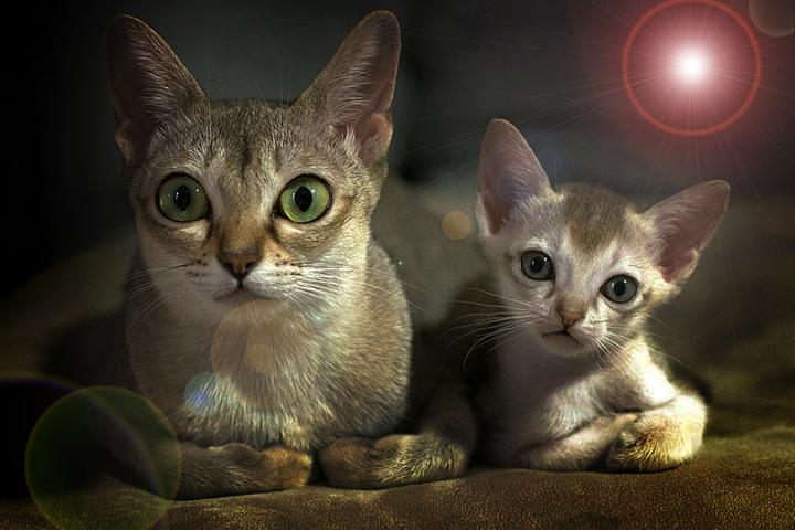 9 место. Сингапурская кошка.