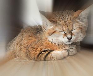 Бархатный кот фото