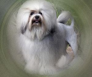 Малая львиная собака (Лёвхен)
