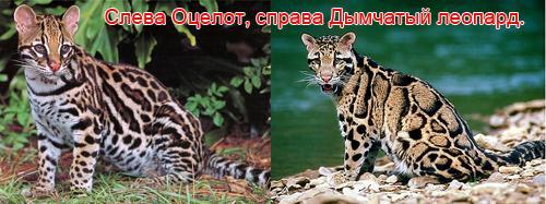 Оцелот и дымчатый леопард