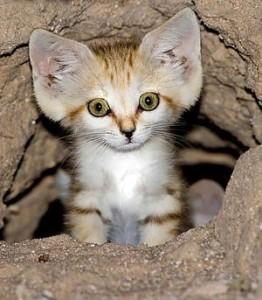фото Бархатный кот