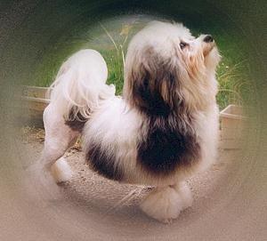 фото львиной собачки
