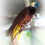 Райская птица. (лат. Paradisaea decora)