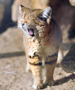 песчанная кошка