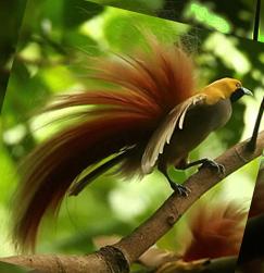 райская птица название