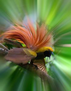 райские птицы фото