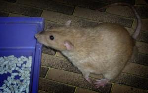 Если крыса домашняя