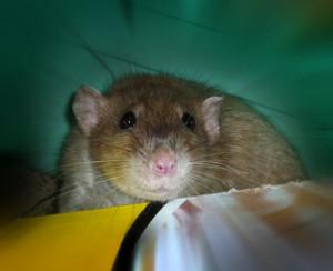 Вы взяли новую крысу