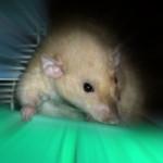 Новая крыса в доме.