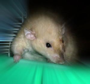 новая крыса в доме