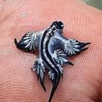 Моллюск Голубой ангел (лат. Glaucilla marginata)
