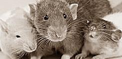 Интересное про крыс
