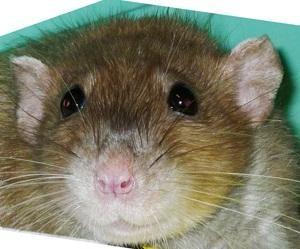 интересно о крысе