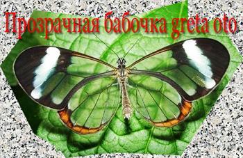 прозрачная бабочка фото