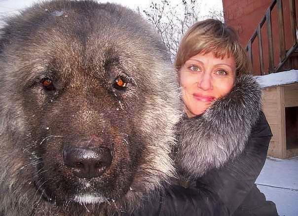 Собака Бигль описание породы фото цена щенков отзывы