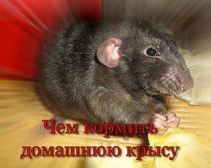 чем кормить домашнюю крысу