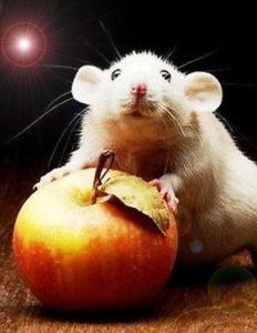 Белок в рационе крыс