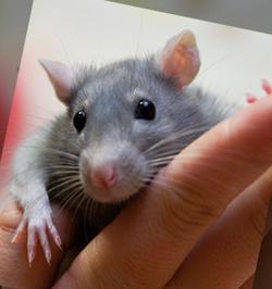 Декоративные крысы, как правильно обращаться