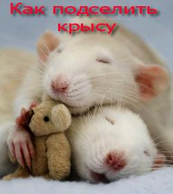 Как подселить крысу