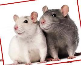 как подселять крысу