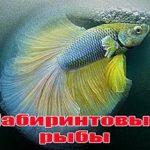 Лабиринтовые рыбы аквариума.