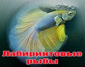 лабиринтовые рыбы фото